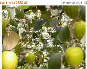5 seeds Panama Rubber Tree Year round interest Very Rare