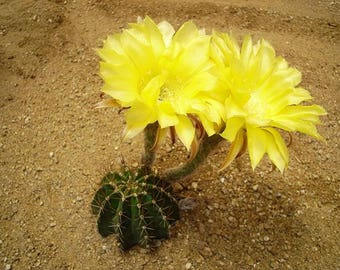 Lemon Pie Echinopsis Hybrid-Blooming Size!