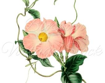 Pink Flower Botanical Illustration, Clipart Pink Flower Vintage Digital Image for Printing, Artwork - INSTANT DOWNLOAD - 1149