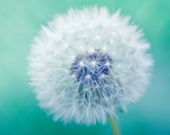 "Dandelion photography - fine art nature photography 8x8 - blue green teal spring macro print -  ""Wishful Thinking"""