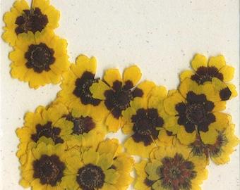 Sunflower (coreopsis) Pressed Flowers - pack of 25  1 inch diameter yellow petal dark brown center