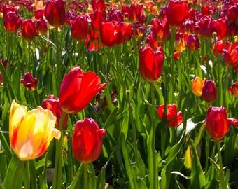 Tulips - Image 1955