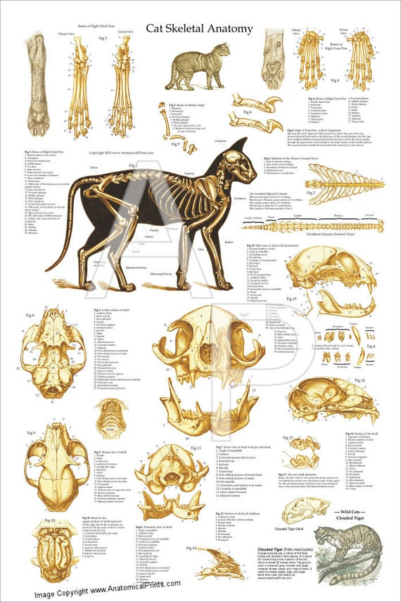 Cat Skeletal Anatomy Poster Wall Chart 24 X 36
