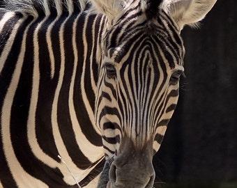 Zebra - 8 x 10