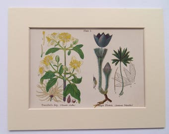 """Travellers Joy & Pasque Flower Antique Botanical bookplate- dated c1880 in 10x8"""" mount ready to frame"""