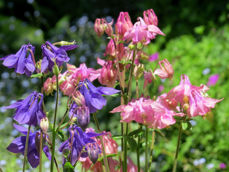 Columbine aquilegia biedermeier perennial plants live plants sold by greenleafgardens izmirmasajfo