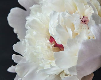 Georgia; fine art photography, modern, wall art, floral photography, dark, floral, art, photo, botanical, pink, white, by F2images