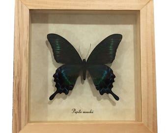 Alpine Black Swallowtail in shadowbox display