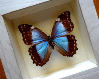 Real Morpho Menelaus Menelaus Female - Taxidermy - Collectibles **RARE**