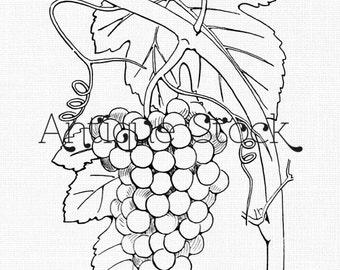 Cluster of Grapes Image - Grape Fruit Drawing - Vintage Illustration