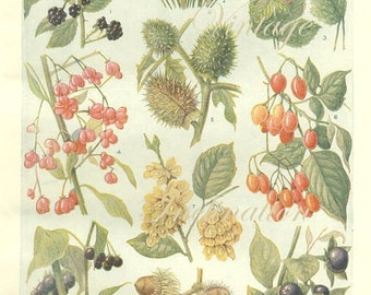 Vintage 1930s Botanical Print Antique BERRIES, plant print botanical print, bookplate art print, berries fruit plants plant wall print 3671