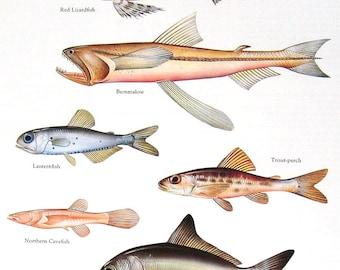 Fish Print - Red Lizardfish, Bummalow, Lanternfish, etc. - Vintage 1984 Fish Book Plate