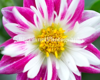 Pink and White Dahlia, Fine Art Photograph, Flower, Spring, Wildlife, Nature, Floral