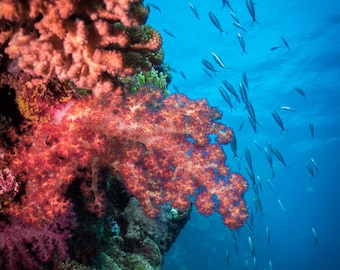 Soft Coral - Great Barrier Reef Underwater Photography Print