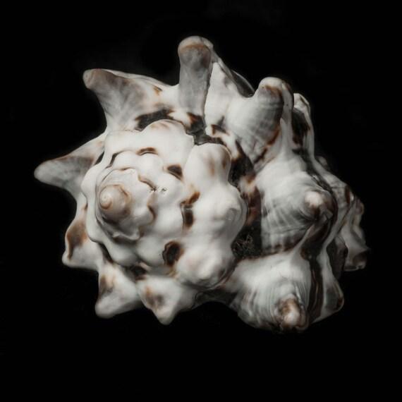 Seashell Art, Coastal Home Decor, Sea Shell Pictures ,5x5 8x8, Brown, White, Black, Gray, Fine Art Photography, Sea Shells, Shell Wall Art