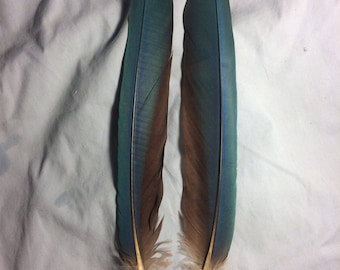 "Beautiful matching pair of 10"" scarlet macaw tail feathers."