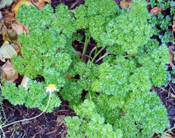 Parsley Flakes  -  3 ounces.  (Petroselinum sativum).