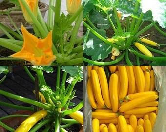WBML 20+++ Kim Zucchini Seeds Healthy Hot Vegetable, squash varieties,vegetable garden ,easy growing zucchini,golden zucchini