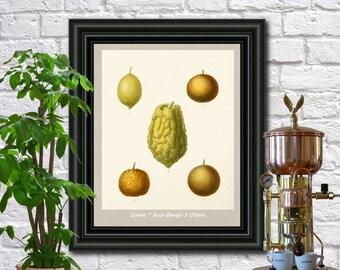 Lemons Botanical Print Vintage Lemons Illustration Kitchen Wall Art Poster  0453