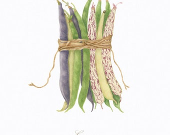 Legumes/ BOTANICAL ILLUSTRATION/Archival Giclee Print/Food Art/Beans with Rope/Green,Yellow,Red