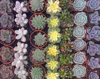 24 SUCCULENT PLANTS