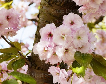 Cherry Blossom, Sakura, Pink Flowers, Spring, Pink, Photo, Print
