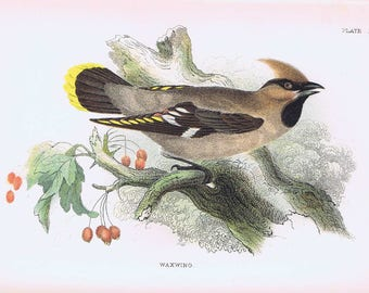 antique print Wax-wing 1897
