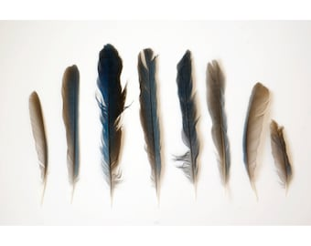 Nature Photo - Blue Jay Feathers - Fine Art Photograph - Bird Feathers Print - Nature Still Life Photo - Blue and Brown Feather Photo