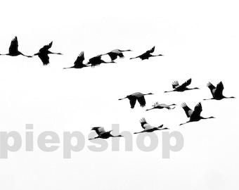 Cranes Grus Grus Migration photocard 10 x 15 cm