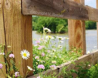 Nature Photo- Daisies, Wildflowers, Lakefront, Flower Print