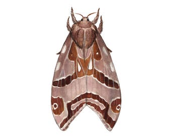 Silver-spotted Ghost Moth
