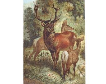 Antique Book Print Illustration Deer Book Plate Chromolithograph Louis Prang Deer 1885 Antique Wall Decor Antique Bucks Print  FREE SHIPPING