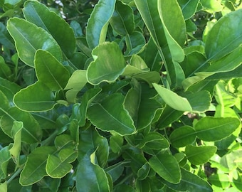 10 Double Fresh Kaffir Lime Leaves, Thai Gourmet Herbs Citrus Hyst, Hand Picked When Ordered