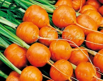 Parisian Carrot Seeds NON Gmo 250 Seeds round shape gourmet heirloom vegetable natural Farmers market best seller Home Garden Favorite