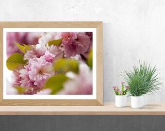Cherry Blossoms Fine Art Photo Prints