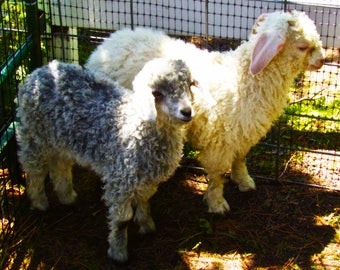 Lambs Photography Print