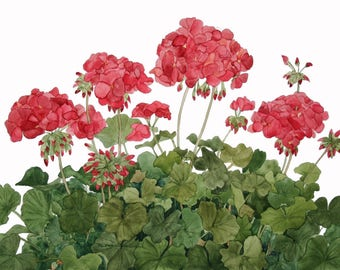 Red Geraniums Watercolor Reproduction