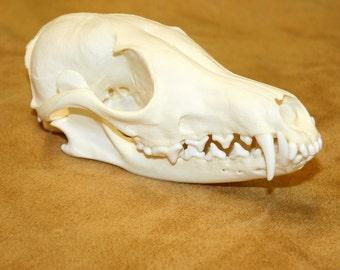 Glacier Wear Cleaned & Brightened Red Fox Skull