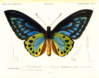 1861 Ornithoptera priamus urvilleana Troides Antique Engraving hand colored Original Antique Print Insects Drawing framing  Lithography
