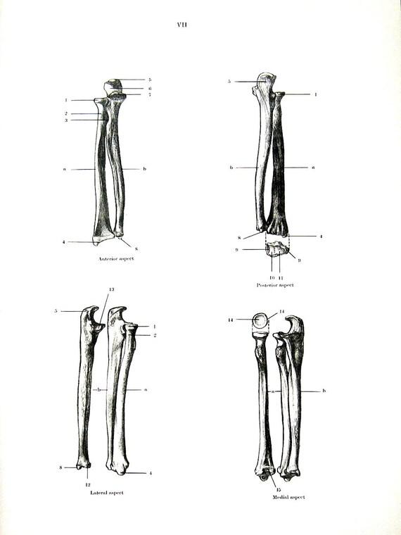 Unterarm Knochen menschliche Anatomie 1975 Vintage Anatomie