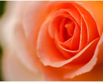Peach Rose Flower Fine Art Canvas wrap