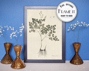"Vintage illustration of Fetid Meadow Rue - framed fine art print, botanical art, home decor 8""x10"" ; 11""x14"", FREE SHIPPING - 60"