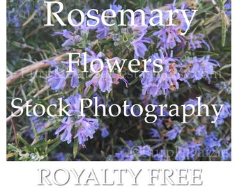Stock Photography Rosemary Flowers Royalty Free - 5 JPG Photos Five Herb Flower Pictures Herbal PlantDigital Images - JPEG Instant Download