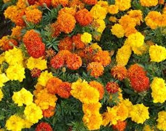All Natural Marigold Flower Seeds Mixed Colors Doubles Singles