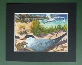 Vintage 1962 Common Tern Print - Sea Bird Picture - Seabird - Ornithology - British Coast - Nest - Seagull - Seaside - Ocean - Gull