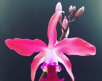 Orchid Slc. Art Deco x Myc. Trudy Fennell - BS - bare root