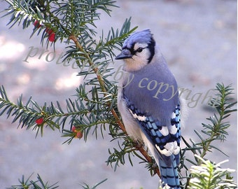 Blue Jay, bird lovers card - Morning Visitor - blank write your own msg, bird, feathers, blue, lapis, cobalt