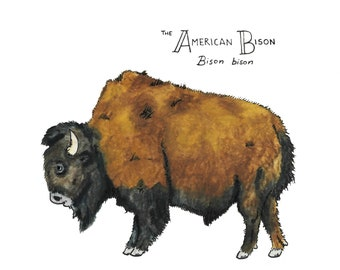 The American Bison (Print)