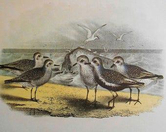 Sandpiper, Plovers Bird Print, Vintage wall art, Large Chromolithograph, home decor