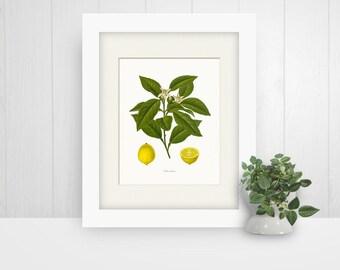 Vintage Lemons Botanical Print, Wall Art, 8x10 Giclee Print